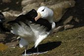 stock photo of albatross  - The most beautiful Albatross of the World, photographed at the Falkland Islands and South Georgia