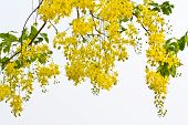 picture of vishu  - Macro shot golden shower - JPG