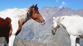 Two Wild Horses Pasturing On Mountain Environment. Beautiful Nature Background poster