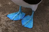 Close Up Of The Blue Feet From A Blue Footed Booby Showing The Feathers In Detail poster