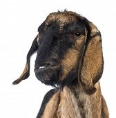 foto of anglo-nubian goat  - Close - JPG