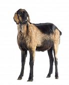 stock photo of anglo-nubian goat  - Anglo - JPG