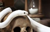 picture of rats  - Texas rat snake on a human skull closeup - JPG