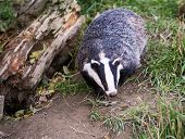 image of badger  - Badger walking towards camera, on grass next to log during day