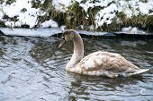 stock photo of veer  - Mute Swan in a cold dutch ditch seem to be able to stand in the cold winter - JPG