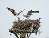 image of osprey  - Couple of male and female ospreys with open wings building their twig nest on a nest platform in Jamaica Bay New York - JPG