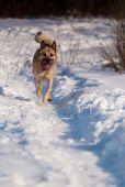 stock photo of laika  - Running West Siberian Laika snow and morning sunlight - JPG
