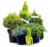 stock photo of conifers  - Conifer sapling trees in pots isolated on white - JPG