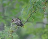 picture of ovenbird  - ovenbird on branch  - JPG