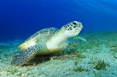 image of hawksbill turtle  - Green Sea Turtle - JPG