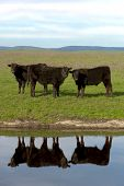 foto of cattle breeding  - Black Angus cattle with mirrored reflection in farm pond California ranch range in background - JPG