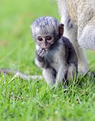 picture of omnivore  - Vervet monkey  - JPG