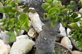 Jade Plant (crassula Ovata) In A Pot As Bonsai