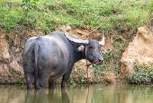 stock photo of carabao  - Buffalo in a swamp width in thailand - JPG