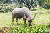 foto of carabao  - Buffalo grazing in a field width in thailan - JPG