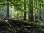 picture of ash-tree  - Old moss wrapped ash tree lying and old natural deciduous stand of Bialowieza Forest in summer morning - JPG