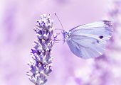 picture of lavender plant  - Gentle butterfly with light purple wings sitting on lavender flower - JPG