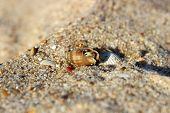 picture of hermit  - Small hermit crab comes out of his shell - JPG
