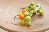stock photo of horticulture  - Solanum torvum  - JPG
