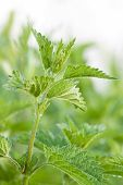 foto of sting  - beautiful green leaves of wild Stinging Nettle