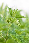 stock photo of sting  - beautiful green leaves of wild Stinging Nettle  - JPG