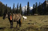 stock photo of nomads  - Dorphu Valley place of summer transhumance for the Kham nomads high mountain pastures horses. ** Note: Visible grain at 100%, best at smaller sizes - JPG