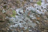 pic of lichenes  - Nature background texture of colored Lichen on stone  - JPG