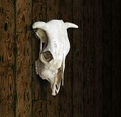 foto of cow skeleton  - Cow Skull with horns against a paneled wood background - JPG