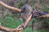 stock photo of wildcat  - Scottish Wildcat walking along a narrow branch - JPG