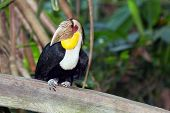 stock photo of toucan  - toucan whit big beak is siting on the branch - JPG