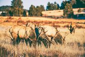 picture of gang  - Elks Gang on the Meadow in Colorado United States - JPG