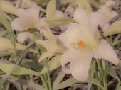 stock photo of easter lily  - Close up of Lilium longiflorum  - JPG