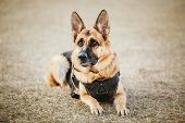 stock photo of shepherds  - Brown German Shepherd Dog Sitting On Ground - JPG