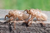 foto of flying-insect  - Dead Shed skin of a Cicada after it changed into a flying insect - JPG
