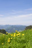 image of buttercup  - Buttercup flowers on the mountain Breitenstein in the Alps in Bavaria Germany - JPG