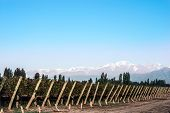 pic of aconcagua  - Early morning in the vineyards - JPG