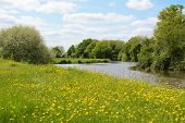 picture of buttercup  - River Medway flows through farmland in Kent England - JPG