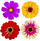 foto of zinnias  - set of colorful zinnia flowers floral  isolated - JPG