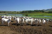 pic of zebu  - Beef cattle in feedlot on farm brazil - JPG