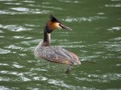 foto of grebe  - Lone great crested grebe swimming on river - JPG