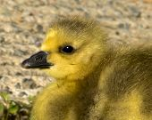 picture of baby goose  - An extreme closeup of a Canada Goose gosling