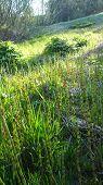 image of marsh grass  - Fresh green leaves of spring grass sunset - JPG