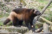 pic of wolverine  - Wolverine standing in the sun its natural habitat - JPG
