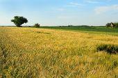image of nubian  - wheat field - JPG