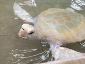 picture of albinos  - An albino green sea turtle at a turtle farm in Isla Mujeres - JPG