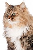 stock photo of tabby-cat  - portrait of Siberian cat - JPG