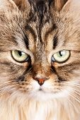 image of tabby cat  - portrait of Siberian cat - JPG