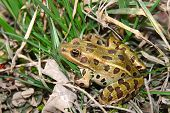 pic of winnebago  - Northern Leopard Frog  - JPG