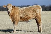 stock photo of charolais  - Yearling heifer calf Charolais crossbred golden red curly fur winter pasture brown grass blue sky - JPG