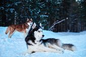 Beautiful Husky Dogs Walk In Winter Park. Siberian Husky Black And White With Blue Eyes Lying On Sno poster